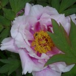 Pfingstrose im Garten von Haus Rennsteigrose